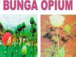 bunga-opiuym